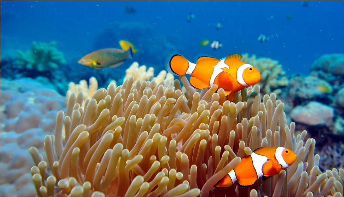 Great Barrier Reef is home to Finding Nemo's clownfish